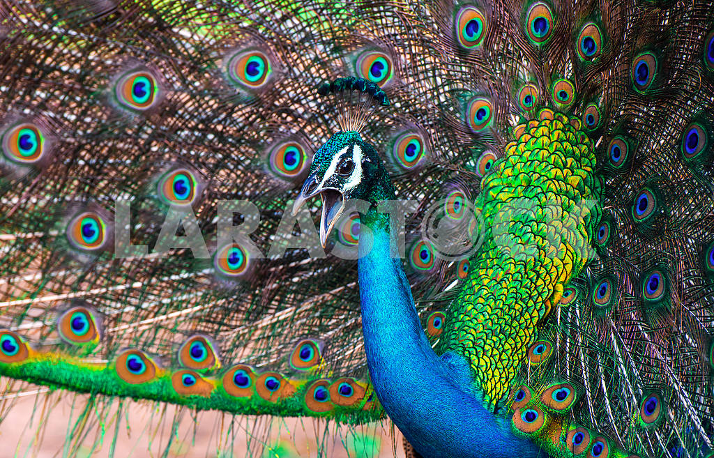 Peacock in the wild — Image 1159