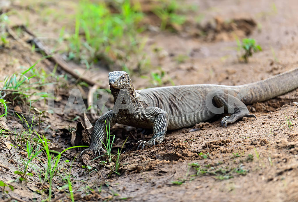 Monitor lizard in the wild — Image 1165