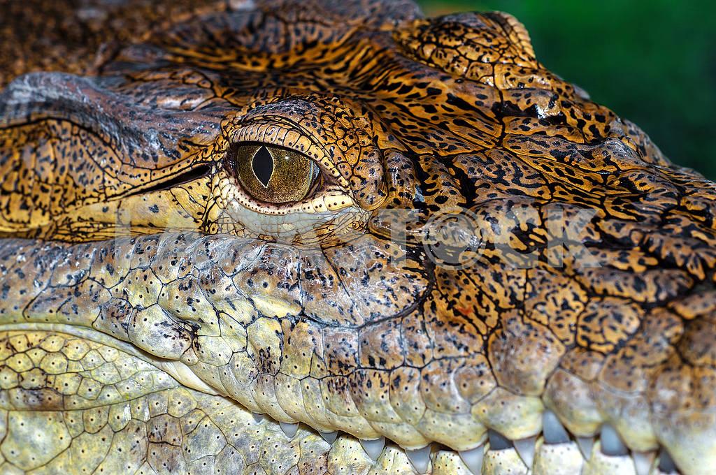 Crocodile — Image 1168