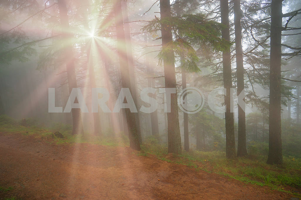 Rays in the Carpathian forest — Image 11866