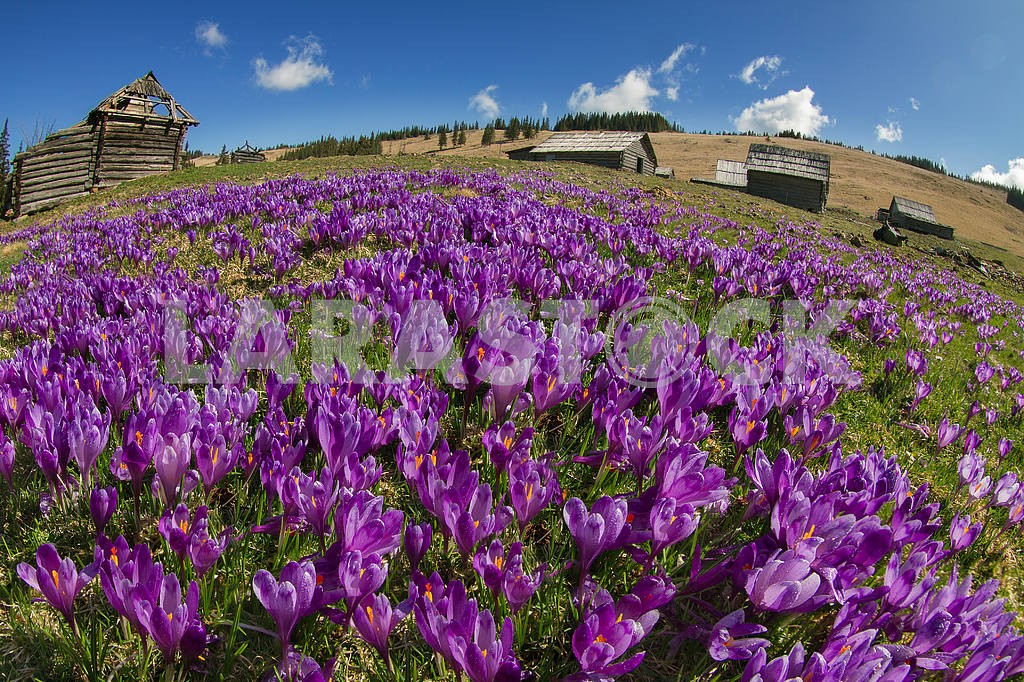 Magic carpet spring crocuses — Image 11911