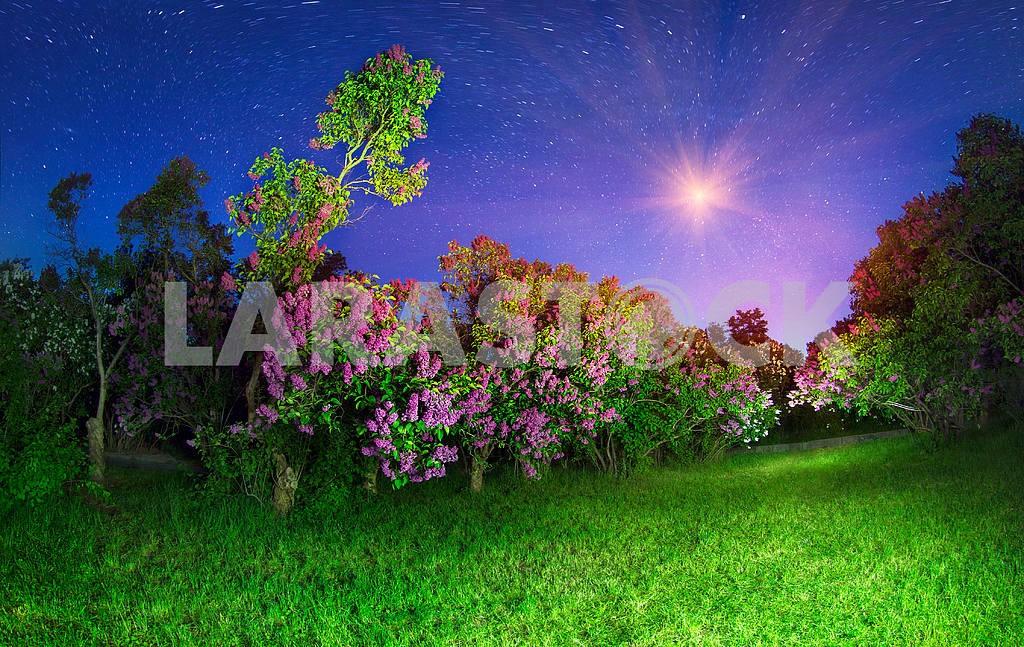 Lilacs in Kiev  — Image 12052