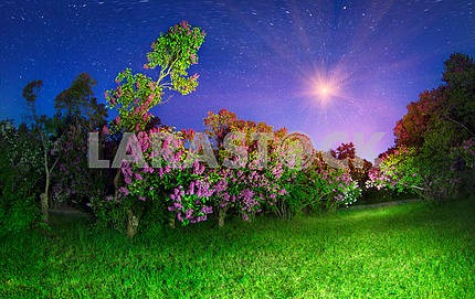 Lilacs in Kiev