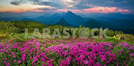 Blooming rhododendrons among alpine