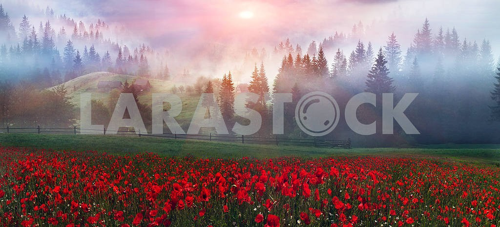 Alpine poppies in the Carpathians — Image 12269