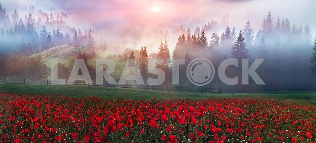 Alpine poppies in the Carpathians — Image 12269