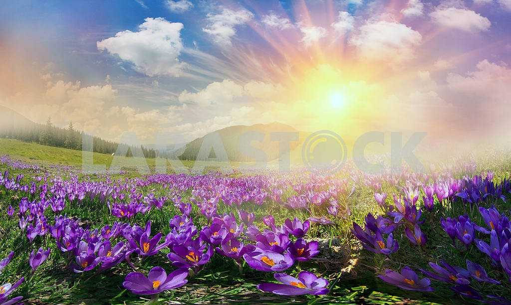 Magic carpet spring crocuses — Image 12306