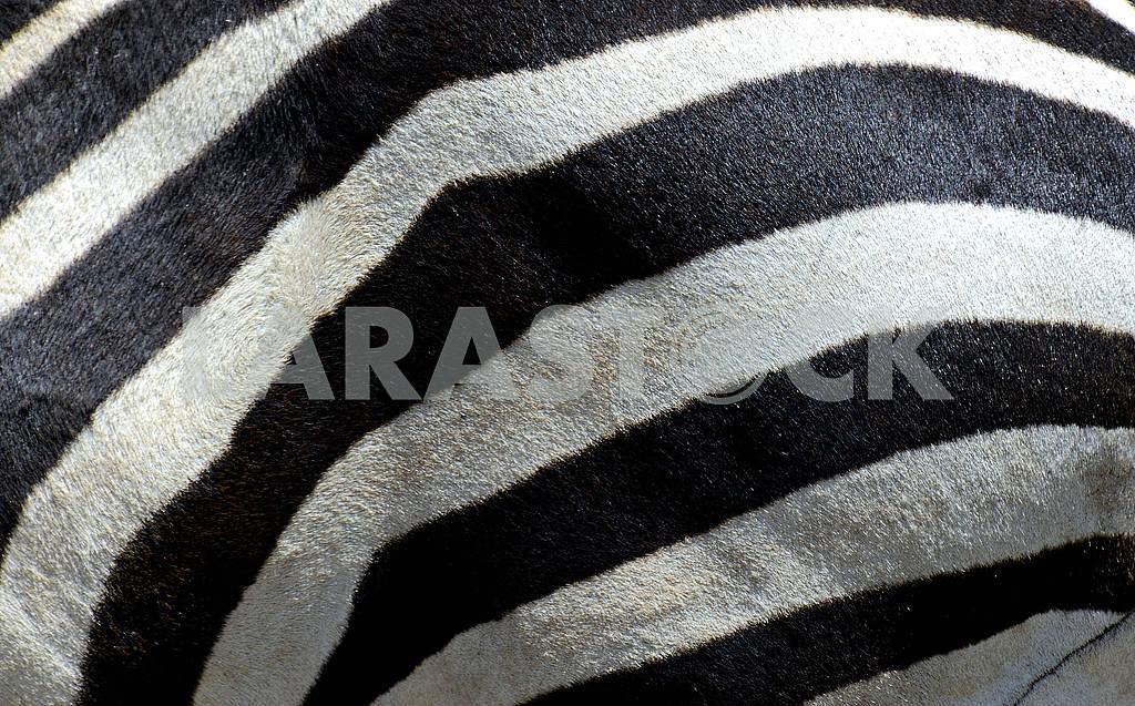 Zebra — Image 1248