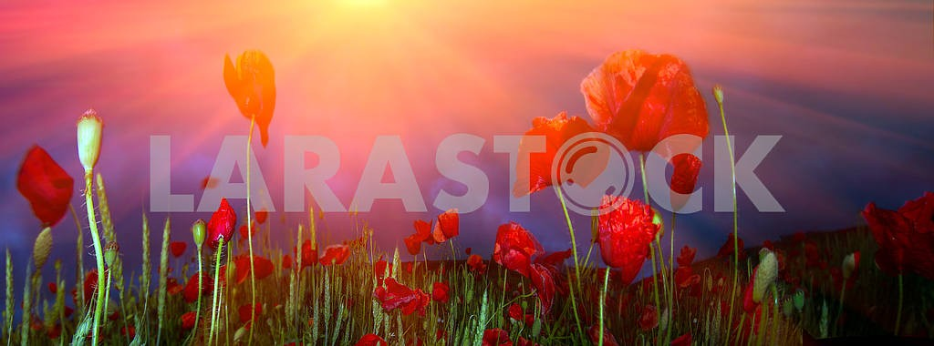 Field with bright blooming poppies — Image 12497