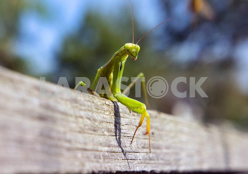 Mantis religiosa — Image 12550