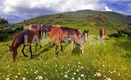 Free mountain grazing horses