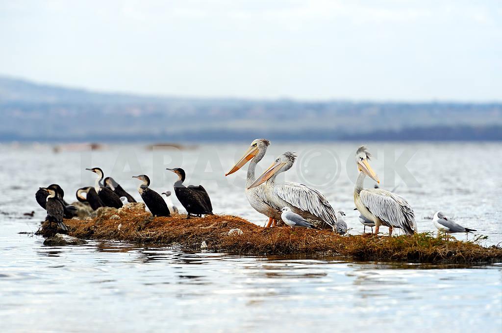 Pelican — Image 1256