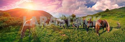 Free mountain grazing horses
