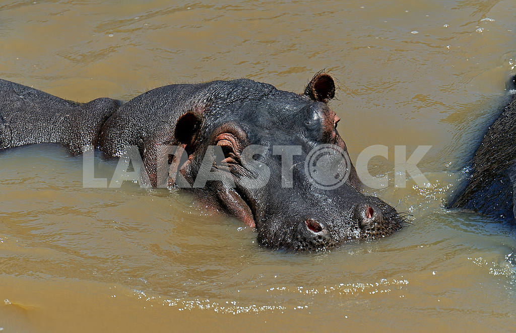 African hippo — Image 1271