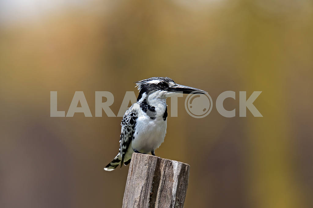 Pied kingfisher — Image 1278