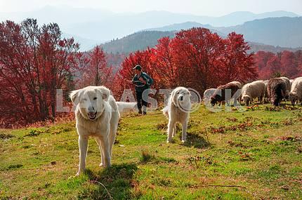Закарпатские пастбища осенью