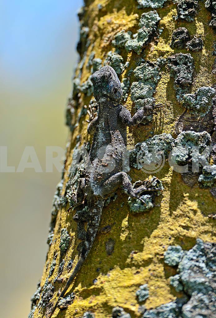 African Lizard — Image 1283