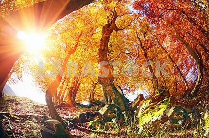 Золото буковый лес