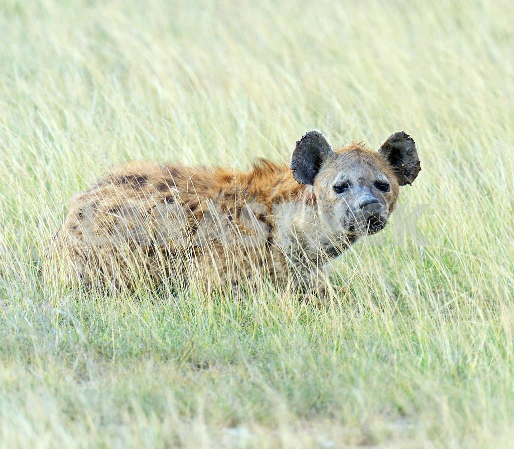 Hyena — Image 1291