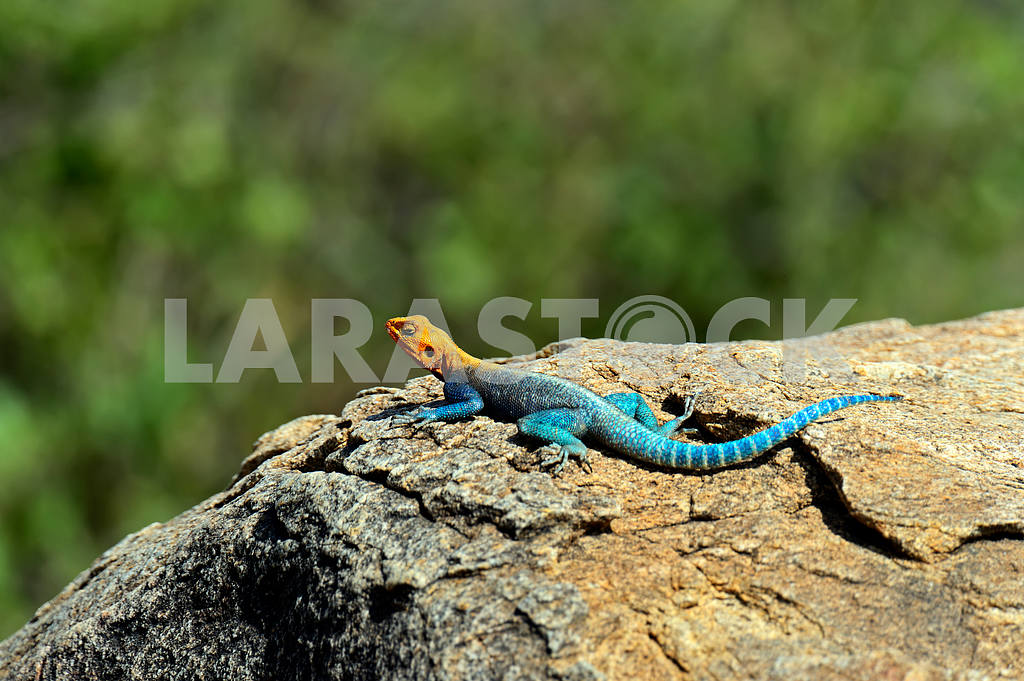 African rainbow lizard — Image 13030