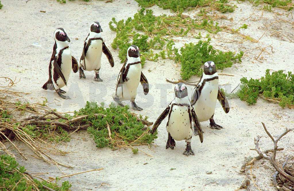 South Africa Penguins — Image 1304