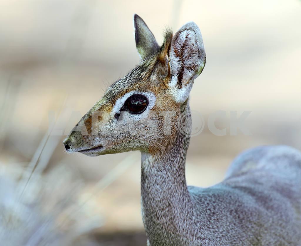 Dik Dik gazelle — Image 13053
