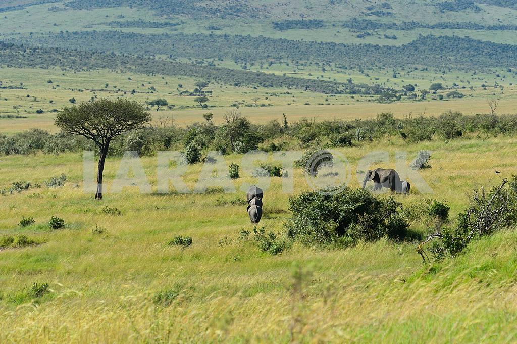 African elephants — Image 13139