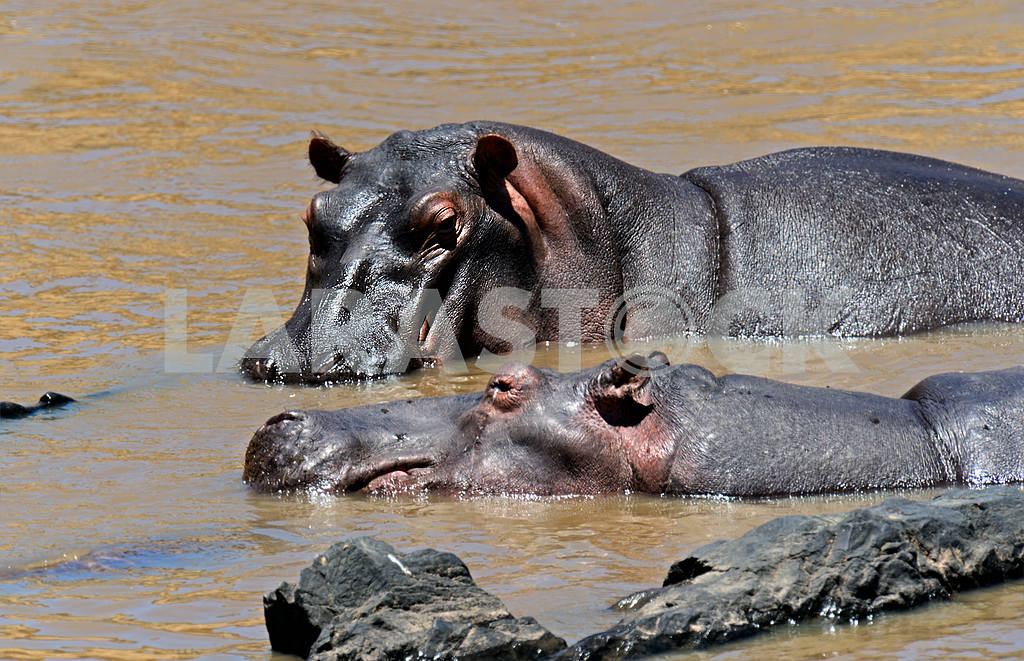 African hippo — Image 13159