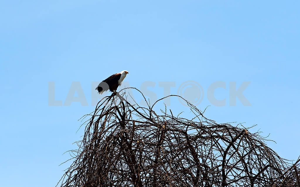 African fish eagle — Image 13183