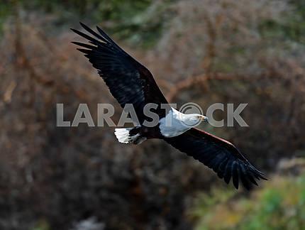Африканский орел