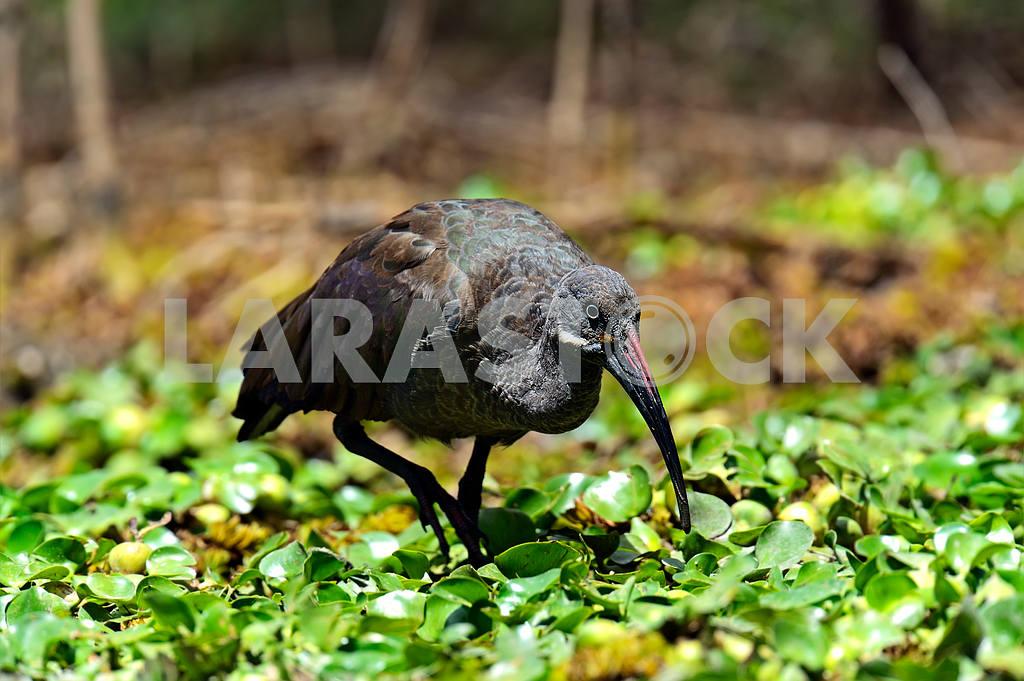 Ibis — Image 13189