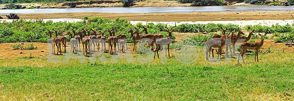 Gazelle Impala — Image 13206