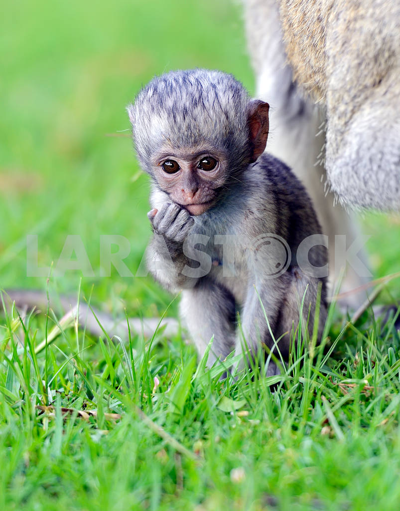 Vervet monkey — Image 13208