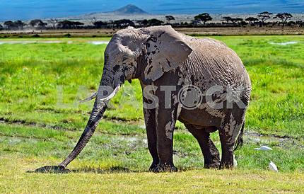 Mount Kilimanjaro elephants