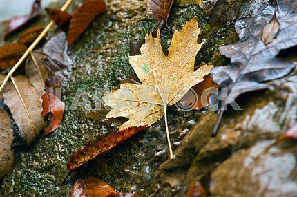 Yellow leaves on the wet stones