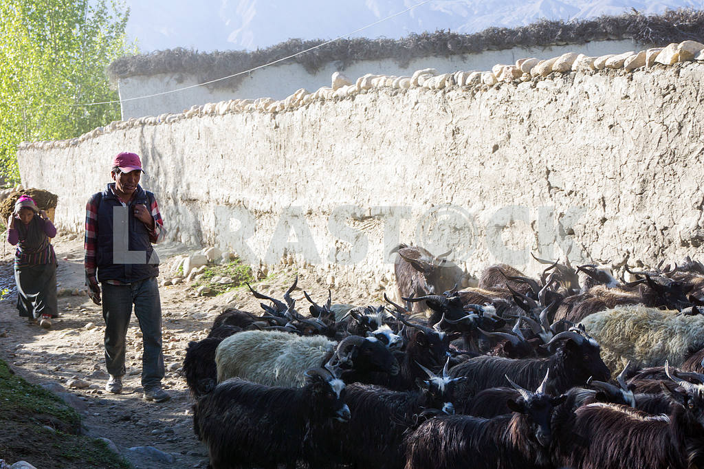 Shepherd leads goats on city streets — Image 13643