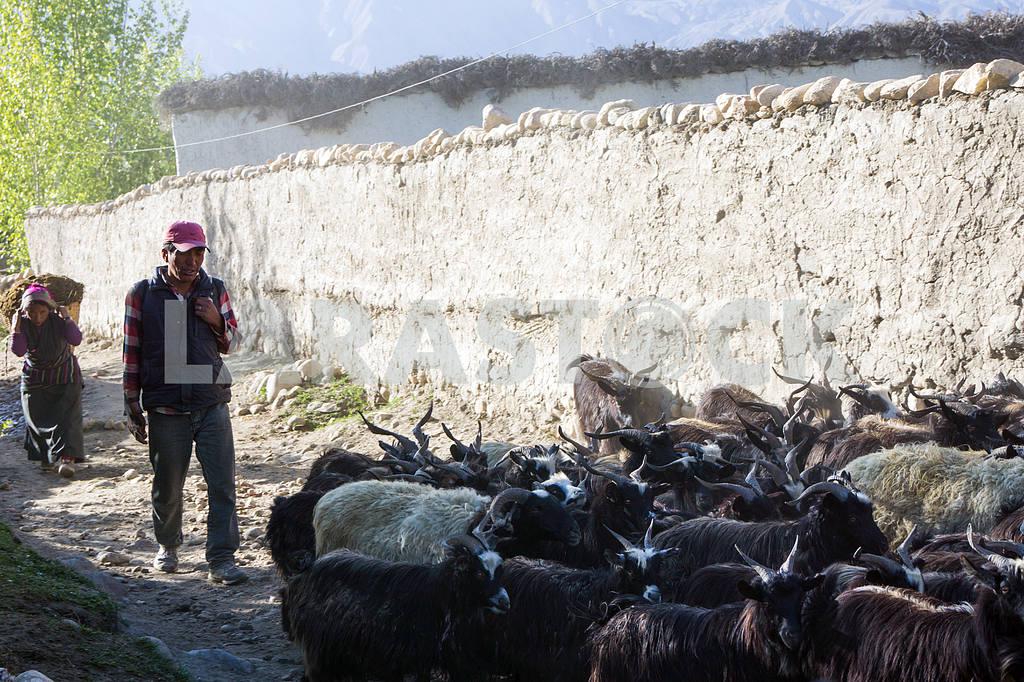 Shepherd leads goats on city streets — Image 13643