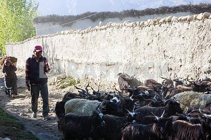 Пастух ведёт коз по улицам города