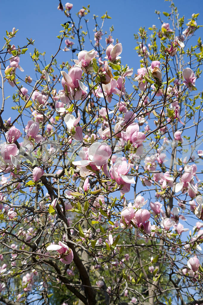 A blooming magnolia tree — Image 13798