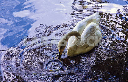 Swan Paradise