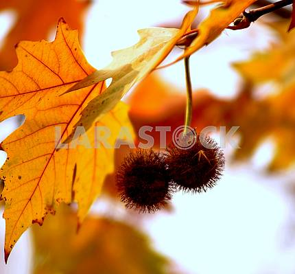 Autumn, Chestnuts on tree