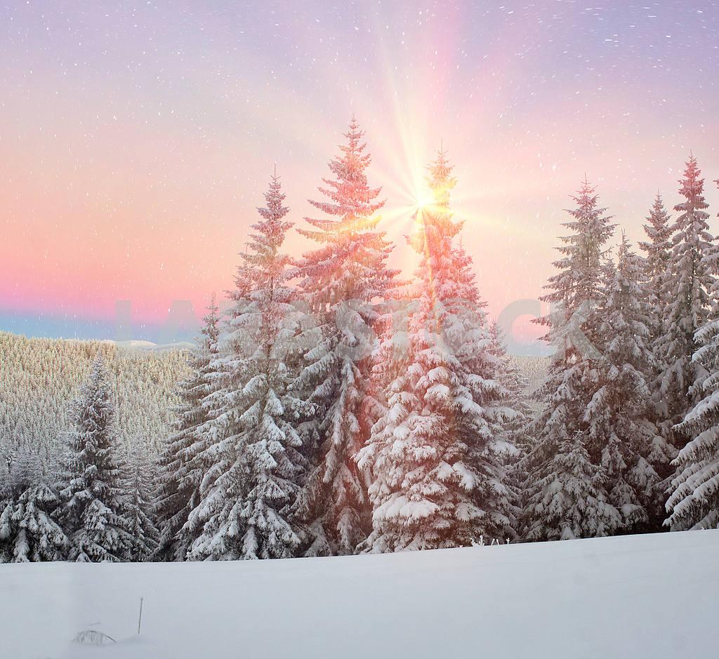 Ukrainian Carpathians snowy forest — Image 14078