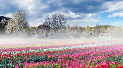 Fields of tulips in Pirogovo