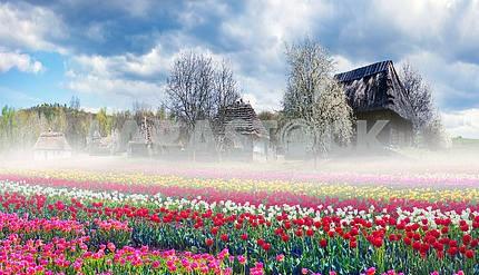 Поля тюльпанов в Пирогово