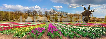 Fields of tulips in the village