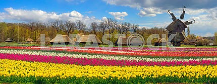 Fields of tulips in the village