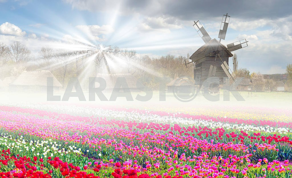 Fields of tulips in the village — Image 14151
