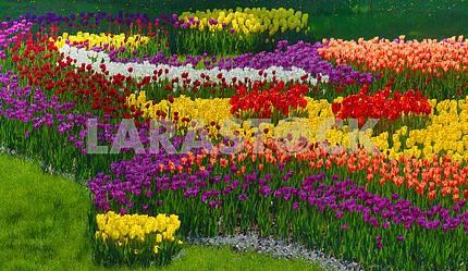 Цветущие тюльпаны