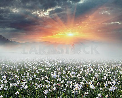 Daffodils at sunrise