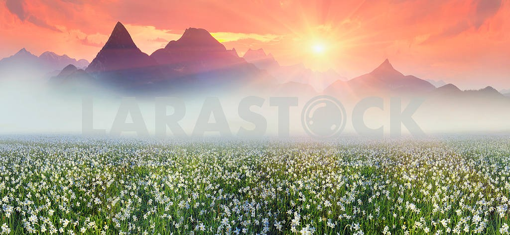 Narcissus at dawn
